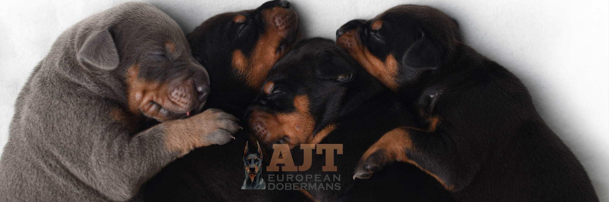 European Doberman Breeders in Florida